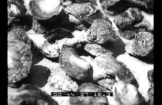 Un impianto per la coltivazione delle ostriche in Istria, 1938.